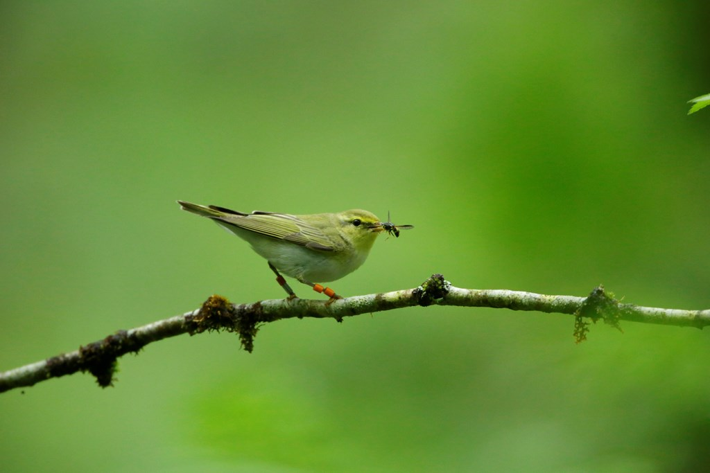 Wood Warbler Andy Hay (rspb-images.com)