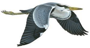 Grey heron (Mike Langham rspb-images.com)
