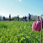 Fritillaries on Broad Meadow