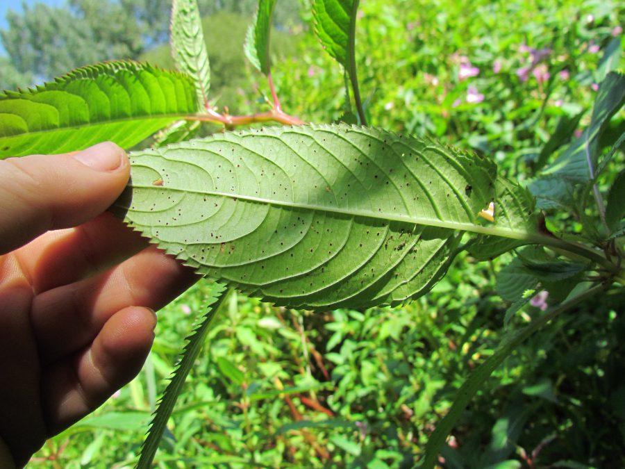 Himalayan balsam meets its match!