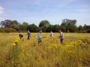Tameforce volunteers pulling ragwort from Castle Vale Meadow (Birmingham), © Tame Valley Wetlands, Warwickshire Wildlife Trust 2017