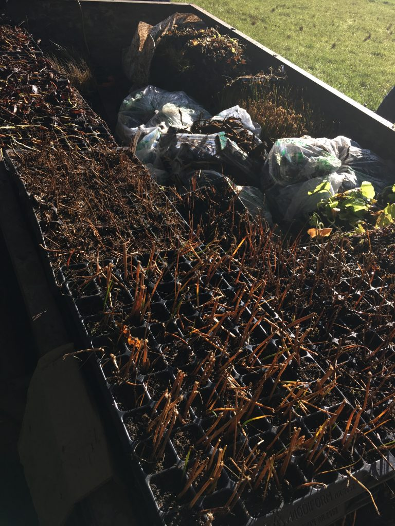 Plug plants in their trays before planting