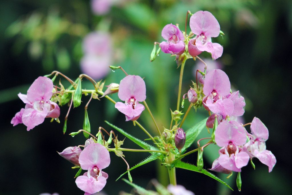Himalayan balsam - an invasive plant with pink bell shaped flowers