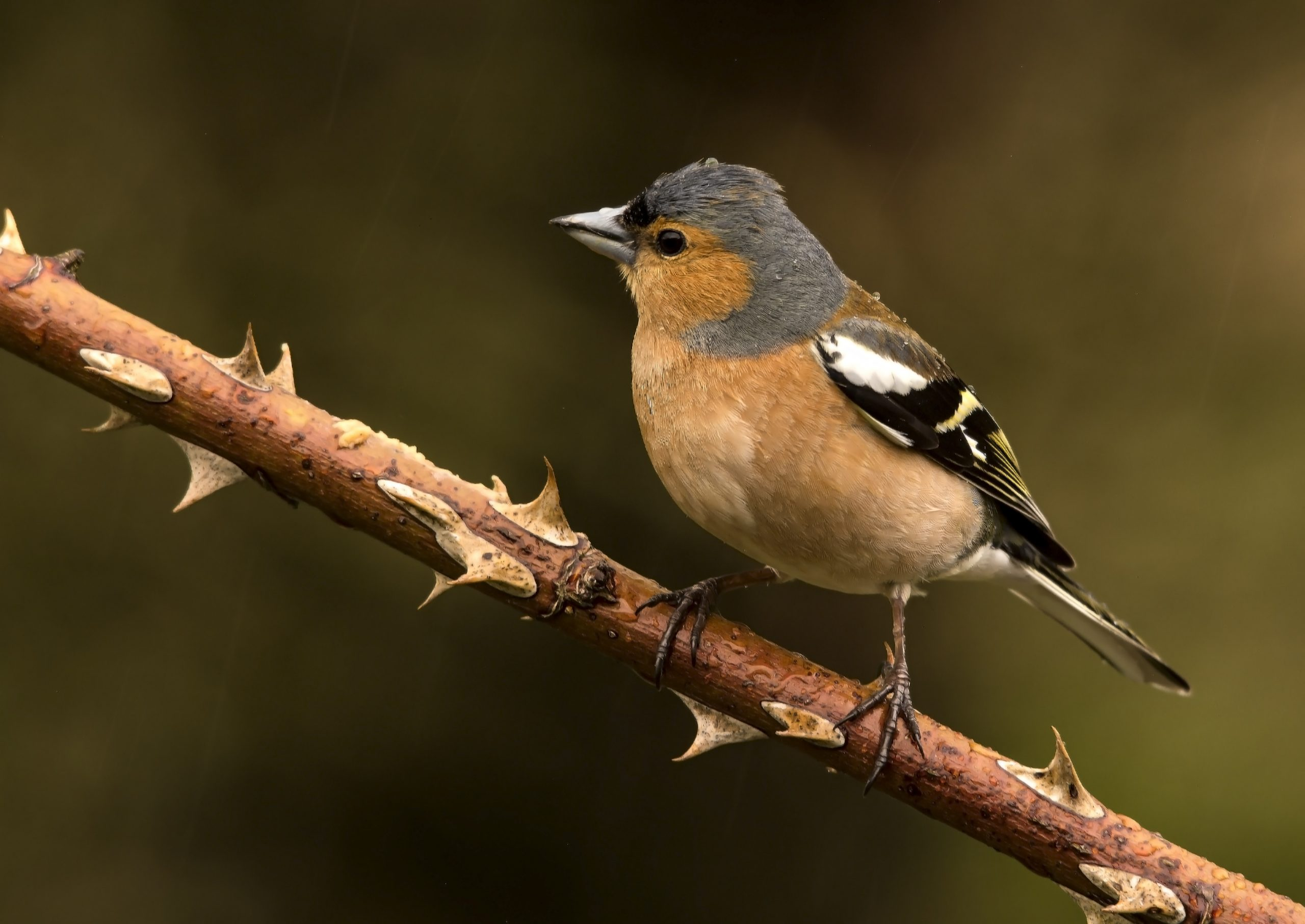Garden Bird ID