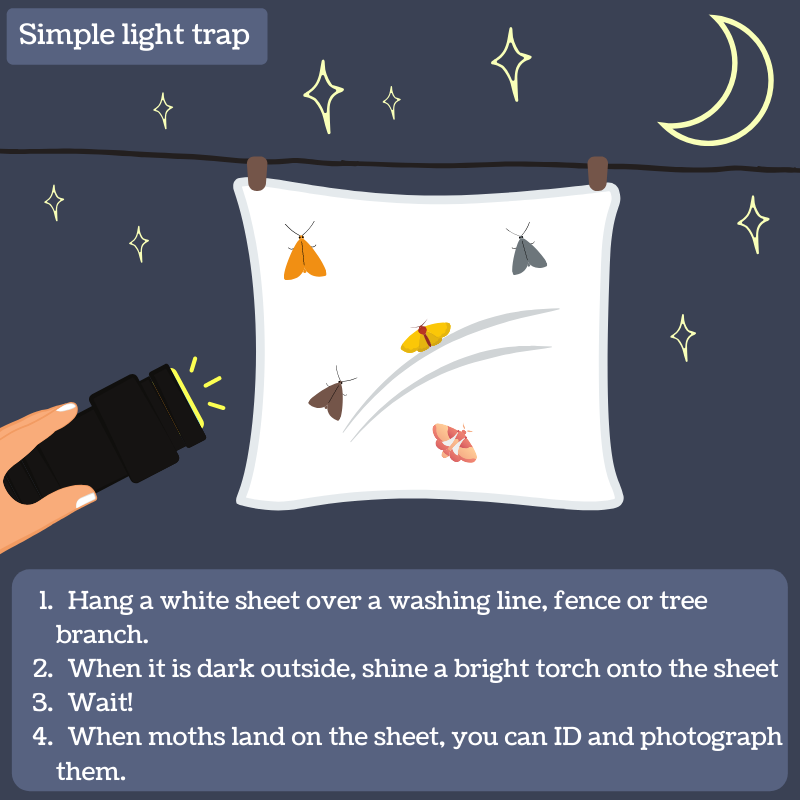 Simple moth trapping for beginners