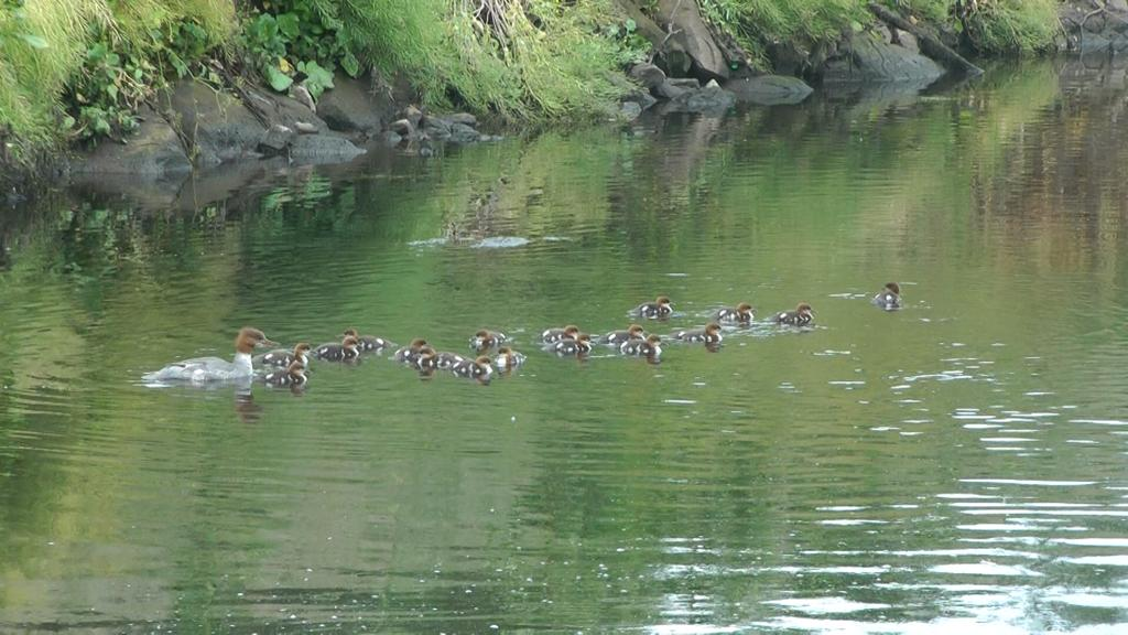 Goosanders on the River Tame