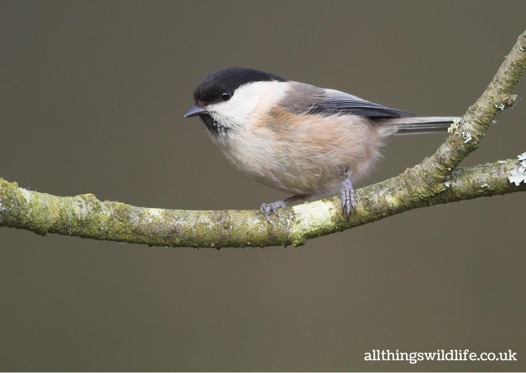 Willow tit. Credit: All Things Wildlife