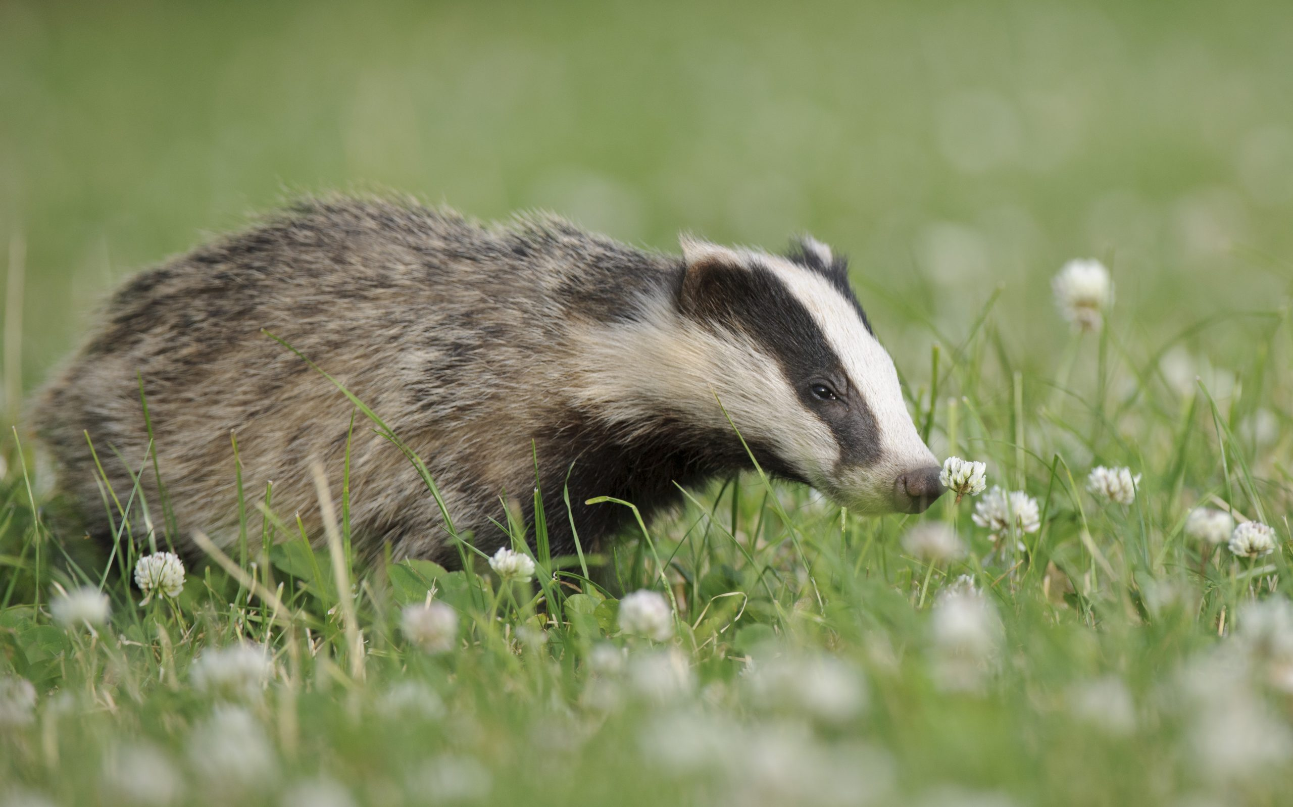 Stop the badger cull coming to Warwickshire