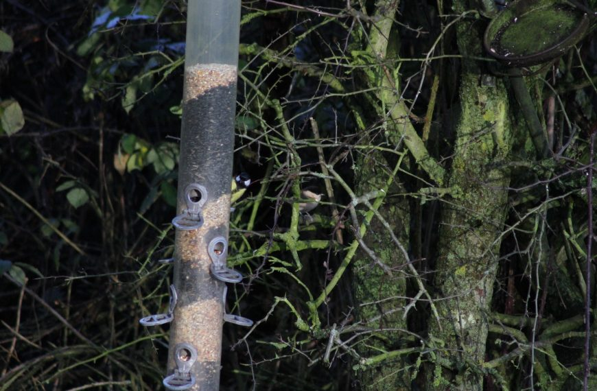 Habitat Management for Willow Tits